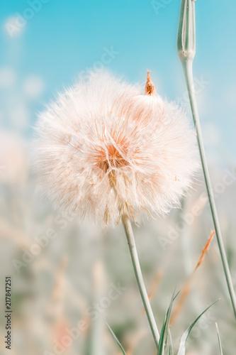 Szare   dmuchawiec-na-tle-pola-kwiatow