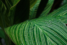 Water Drops On Dreen Canna Lily Leaves For Nature Background