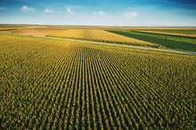 Corn Field From Drone Perspective