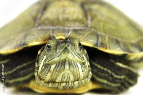 Foto op Aluminium Schildpad turtle on white