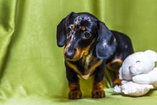 Puppy Dachshund On A Green Bac...