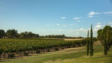 Grape Vines At The Barossa Val...