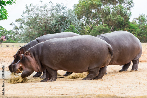 Common hippopotamus, hippopotamus amphibius, or hippo is common to Africa.
