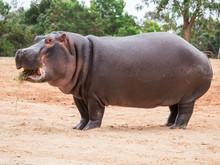 Common Hippopotamus, Hippopota...