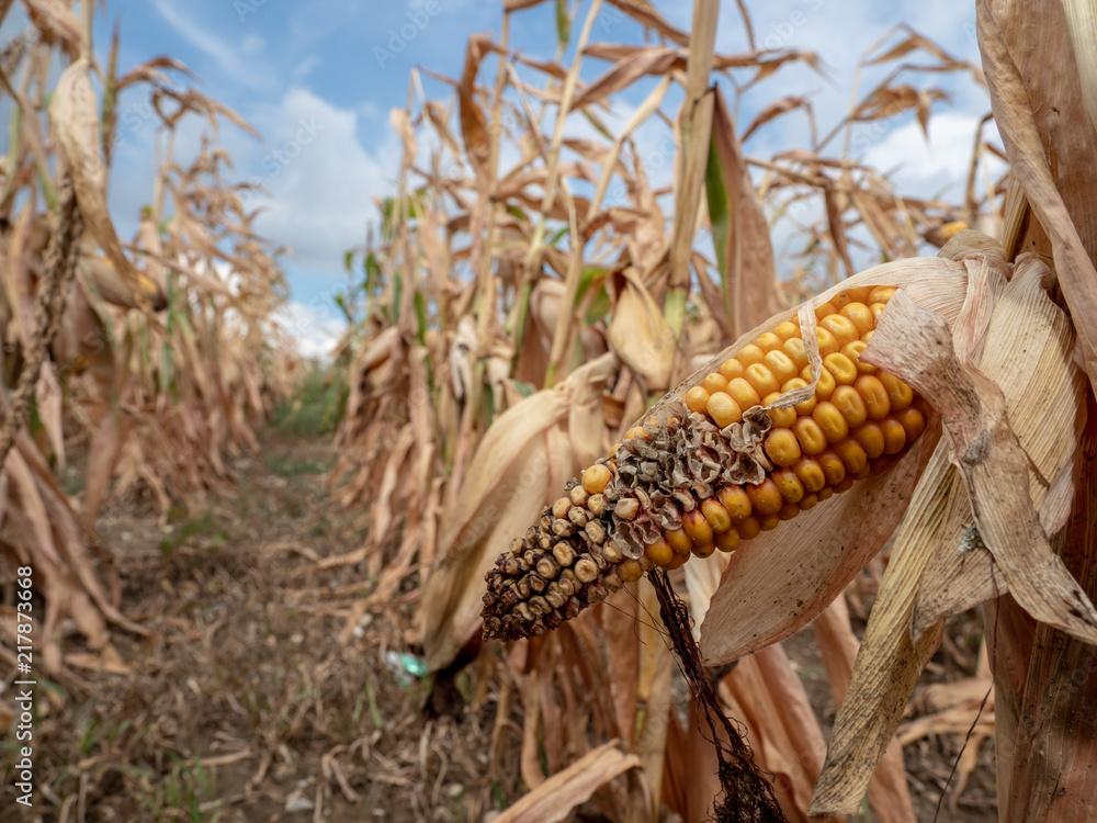 Fototapeta Ausgetrocknetes Maisfeld wegen fehlendem Regen