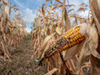 canvas print picture - Ausgetrocknetes Maisfeld wegen fehlendem Regen