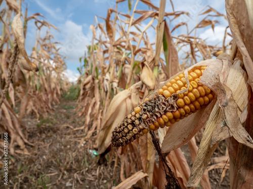 Fényképezés  Ausgetrocknetes Maisfeld wegen fehlendem Regen