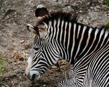 Grevy's Zebra Equus Grevyi Asl...
