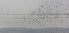 Flock Of Birds On The Wire