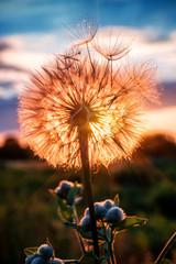 fluffy dandelion on sunset