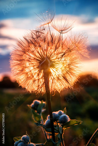 fluffy dandelion on sunset