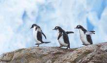 Gentoo Penguins Walking