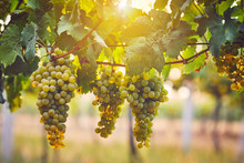 Bunch Of Yellow Grapes In The Vineyard At Sunset