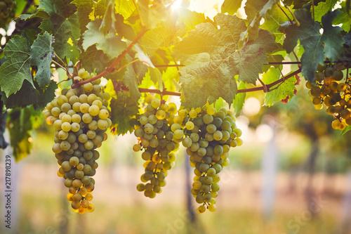 Bunch of yellow grapes in the vineyard at sunset Wallpaper Mural