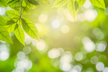 Close-up Natural View Of Green Leaves In Garden, Ray Of Sunlight Though Tree Leaves In Summer Time, Abstract Nature Background