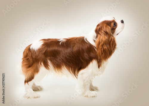 Canvas Print Cavalier King Charles spaniel dog