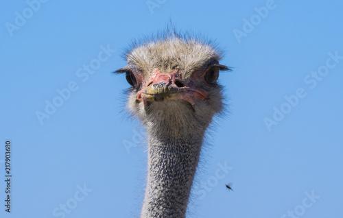 Poster Struisvogel Etosha National Park