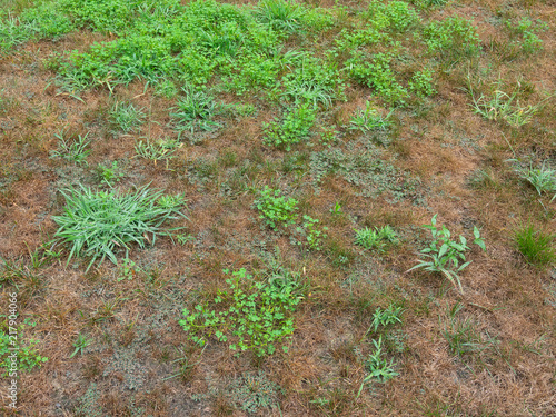 Unkempt garden yard with crab grass and clover weeds Canvas Print