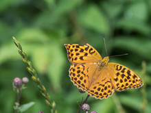 The Silver-washed Fritillary Butterfly (Argynnis Paphia)