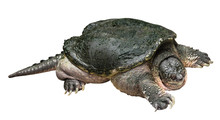 Snapping Turtle ( Chelydra Serpentina ) Is Creeping And Raise One's Head On White Isolated Background . Side View