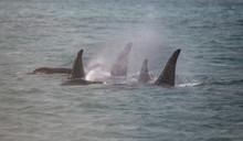 Orca Family, Icy Strait, Glaci...
