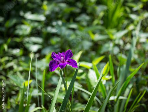 Spoed Foto op Canvas Iris Large purple Bearded Iris Iris germanica flower
