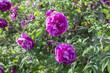 the wild rose Bush with flowers, Yekaterinburg, 14.08.18