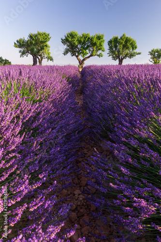Tuinposter Lavendel ligne d'arbres au bout d'un champ de lavande