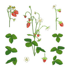 Hand Drawn Strawberry Set Isolated On White.