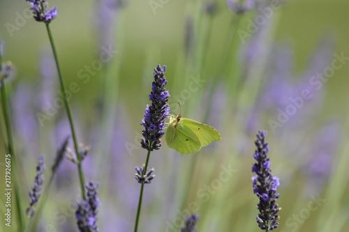 Fotobehang Lavendel papillon . Le Citron