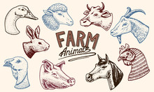Farm Animals. Head Of A Domest...