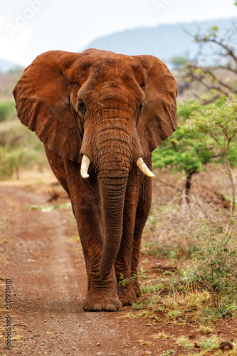 Foto op Aluminium Olifant Elephant bull walking in Zimanga Game Reserve in South Africa with red dust on his skin after a dust bath