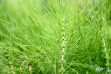 Horsetail Weed Plant