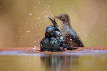 Cape Glosy Starling Bathing In...