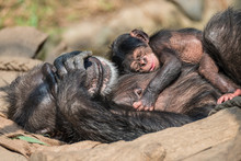 Portrait Of Mother Chimpanzee ...