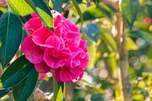 Closeup Of Deep Pink Camellia Flower In Bloom