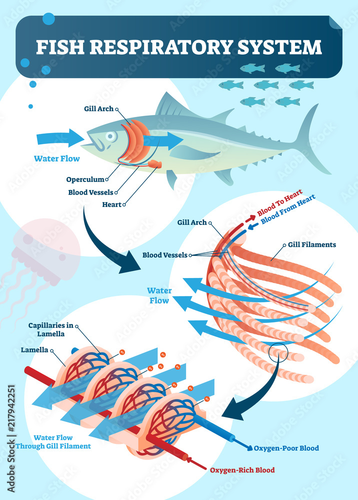 Fototapeta Fish respiratory system vector illustration. Labeled anatomical scheme with gill arch, operculum, blood vessels and heart. Colorful diagram with blood to and from heart.