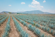 The Tequila Plant - Blue Agave...