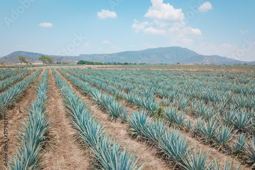 The tequila plant - Blue agave fields in Jalisco, Mexico Canvas Print
