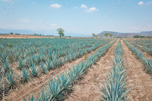 Photo The tequila plant - Blue agave fields in Jalisco, Mexico