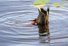 The Diving Duck A Tail In Top.
