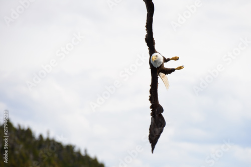 Bald Eagle diving for fish near Juneau, Alaska