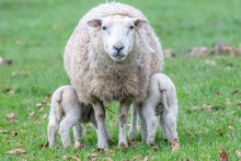 Twin Lambs Feeding Of Mother Ewe
