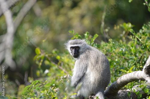 Foto op Plexiglas Aap Primo piano di scimmia africana