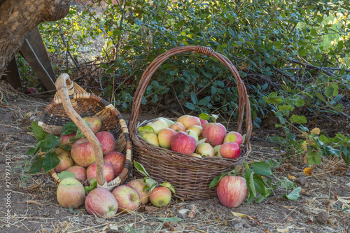 Fototapeta Two baskets of natural organic ripe red heirloom delicious organic apples in late afternoon autumn light, healthy, diet friendly, sweet fruit with nutrition and vitamins obraz