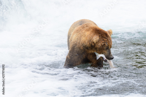 A bear makes a catch in the hot tub section of the Brooks River falls, Katmai National Park, Alaska