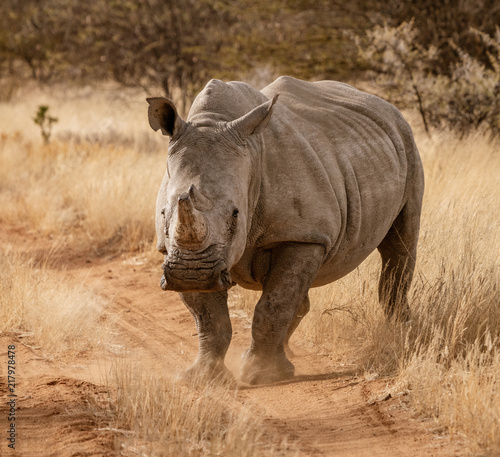 Single white rhinoceros stands on a dirt road