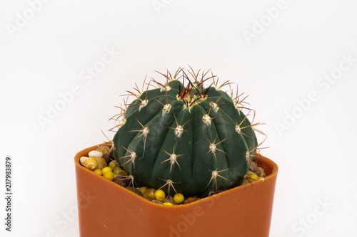Foto op Canvas Cactus Cactus. It a Desert plants It is small and beautiful.