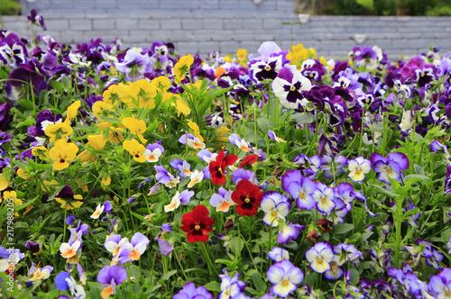 Deurstickers Pansies Colorful pensee in sunlight