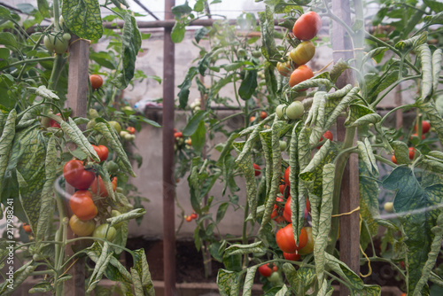 Nice Mature Tomatoes In The Greenhouse, Home Vegetables. Organic Food, Growing  Healthy Food At Home